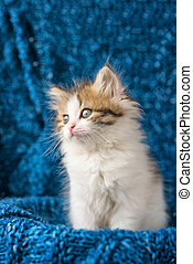 cute kitten looks with amazement on a blue background