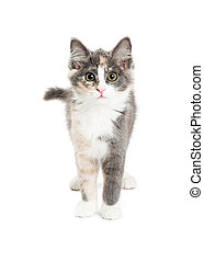 Cute Kitten on White Looking Into Camera