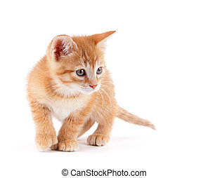 Cute kitten playing on white - Cute orange kitten with large...
