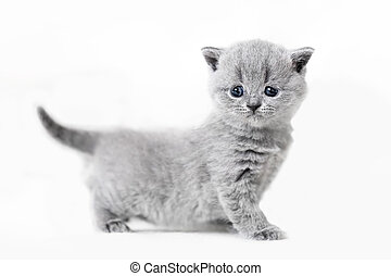 Cute kitten portrait. British Shorthair cat