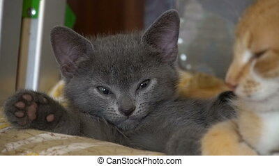 Cute kitten resting in the room raw video