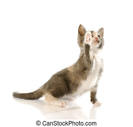 cute kitten - short haired kitten with paw up in the air ...