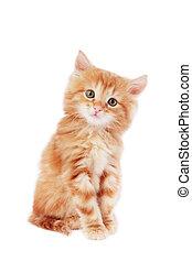 Cute kitten - Cute foxy-red kitten sitting on white...