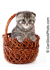 Cute kitty Scottish Fold cat sitting in a basket (isolated on white)