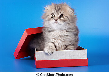 Cute kitty Scottish Fold cat sitting in a box on a blue background