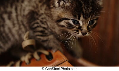 Cute kitty with blue eyes playing  on brown shoes.