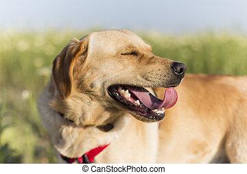 cute labrador dog breed