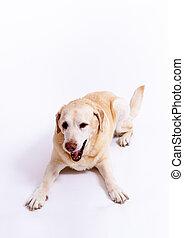 cute labrador dog lying at the floor