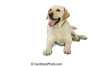 Cute labrador dog lying on floor on white background