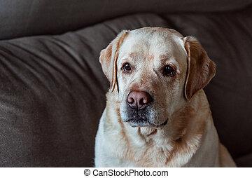 Cute labrador dog on grey background