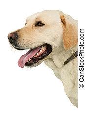 Cute labrador dog
