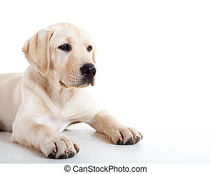Cute labrador dog - Studio portrait of a beautiful and cute ...