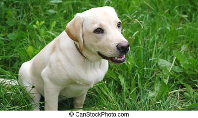 Cute labrador or golden retriever sitting on green grass in yard. Attentive animal looking to something. Obedient dog waiting for command of owner. Slow motion Close up Top view.
