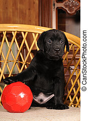 Cute labrador puppy with red ball