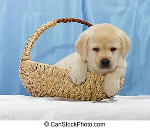 Cute Labrador retriever puppy.