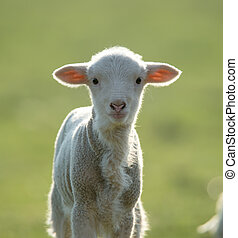 Cute lamb looking at camera