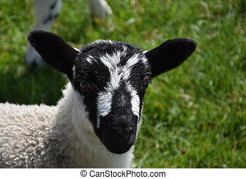 Adorable lamb with a black and white speckled face in England.