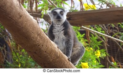 cute Lemur monkey at zoo - cute Lemur monkey at safary zoo