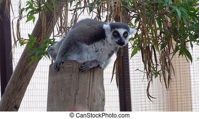 cute Lemur monkey at zoo - cute Lemur monkey at safary zoo