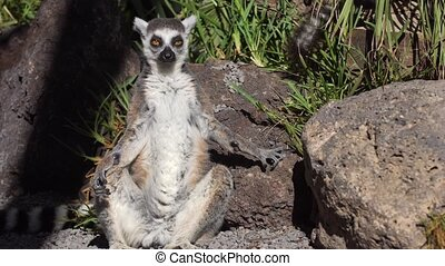 lemur resting in the zoo - cute lemur resting in the zoo