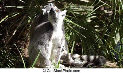 lemur resting - cute lemur resting