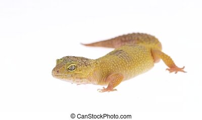 Cute leopard gecko or eublepharis macularius in white isolated background. Close up. Slow motion. Macro Zoom Shot