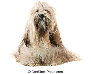 Cute Lhasa Apso sitting on white background, 1 year old