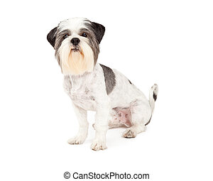 Cute Lhasa Apso Dog Sitting
