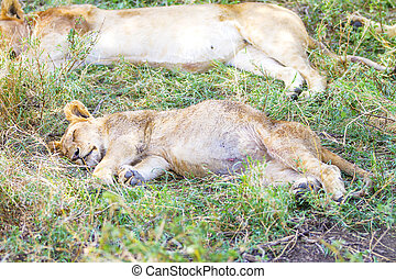 Cute lion cub sleeps on the back after meal