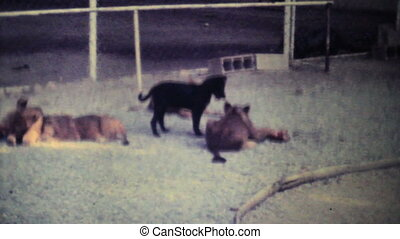 Cute Lion Cubs Chewing On Bone-1979 - Cute lion cubs chew on...