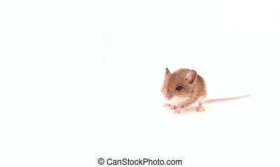 Cute litlle mouse white background