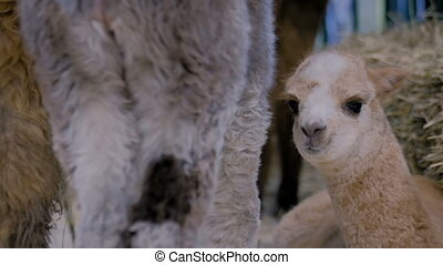 Cute little alpaca at agricultural animal exhibition, trade show