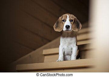Cute little beagle puppy sitting on wooden staircase. - Cute...