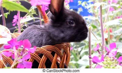 Cute little black rabbit sitting in a basket and eats spring flowers. Concept of the Easter.