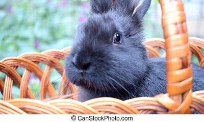 Cute little black rabbit sitting in a basket.