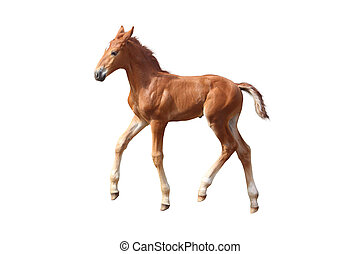 Cute little chestnut foal trotting isolated on white - Cute...