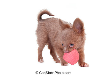 Chihuahua puppy playing