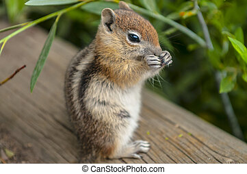 Cute little Chipmunk - Cute Young Chipmunk standing up while...