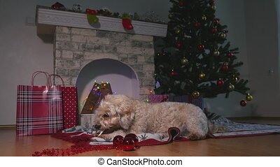 Cute little dog eat food stick, laying on the floor and waiting For Christmas