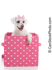 Cute little dog in a pink and white love heart box -...