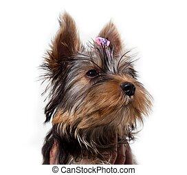 Cute little dog,Yorkshire terrier