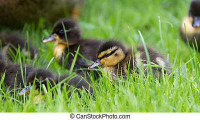 Cute little duckling in the grass