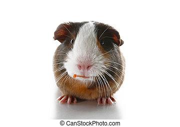 Cute little dutch guinea pig on studio white background....