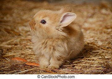 Cute little fluffy eared rabbit in a paddock.