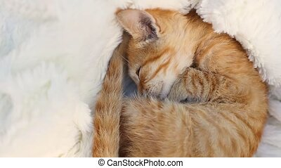 Cute ginger cat curled up sleeping on a white pile fluffy blanket Young cute little red kitty. Sweet dream concept