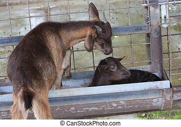 cute little goats on the farm