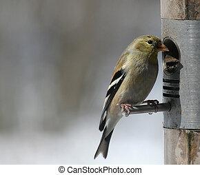 Cute Little Goldfinch