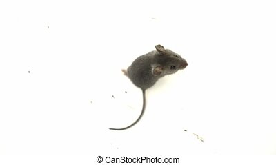 Cute little gray mouse on a white background Close up