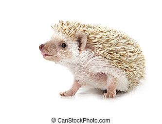hedgehog - cute little hedgehog isolated on white