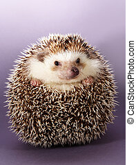 hedgehog - cute little hedgehog, purple background